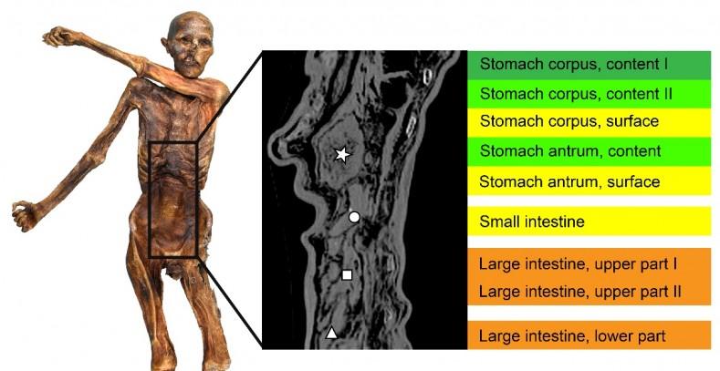 El estómago de Ötzi muestra la historia del pasado agrícola