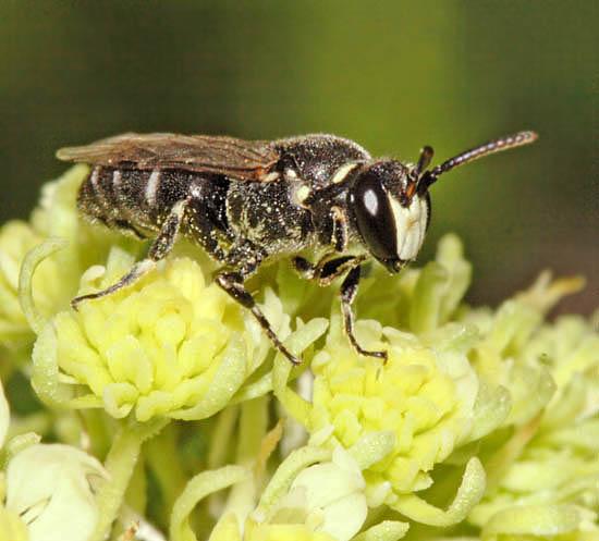 Péptido antimicrobiano aislado del veneno de la abeja Hylaeus signatus ha sido modificado para aumentar su efecto antibiótico