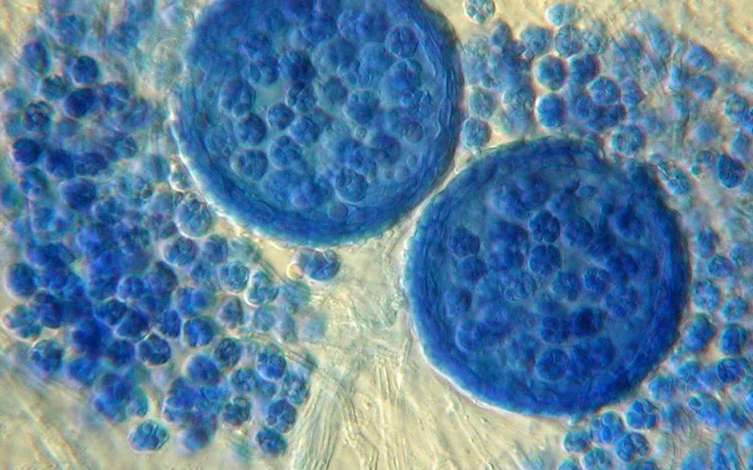 Aíslan un nuevo antibiótico desde Emericellopsis minima, un hongo del fondo marino chileno