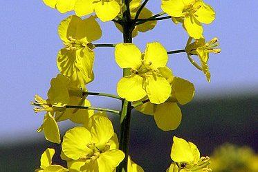 Hablemos del temido aceite de colza…