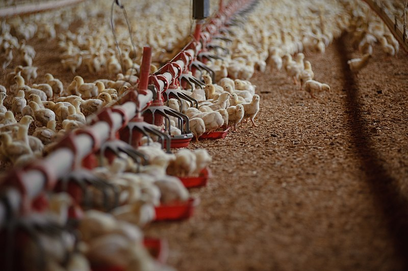 Pollos y hormonas: ¿qué estamos comiendo?